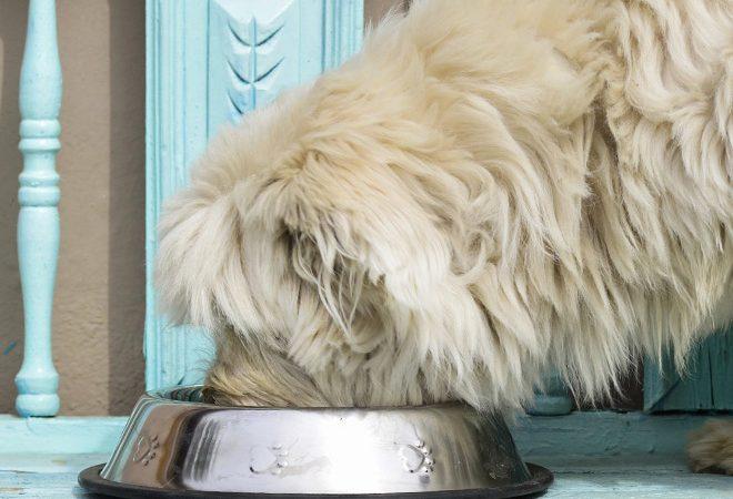 ¿Cuál es la mejor comida para tu perro?